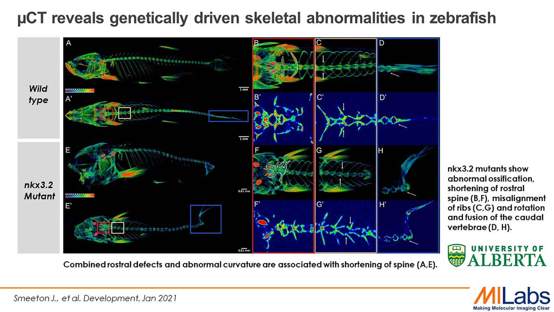 microCT genetically driven skeletal abnormalities in zebrafish