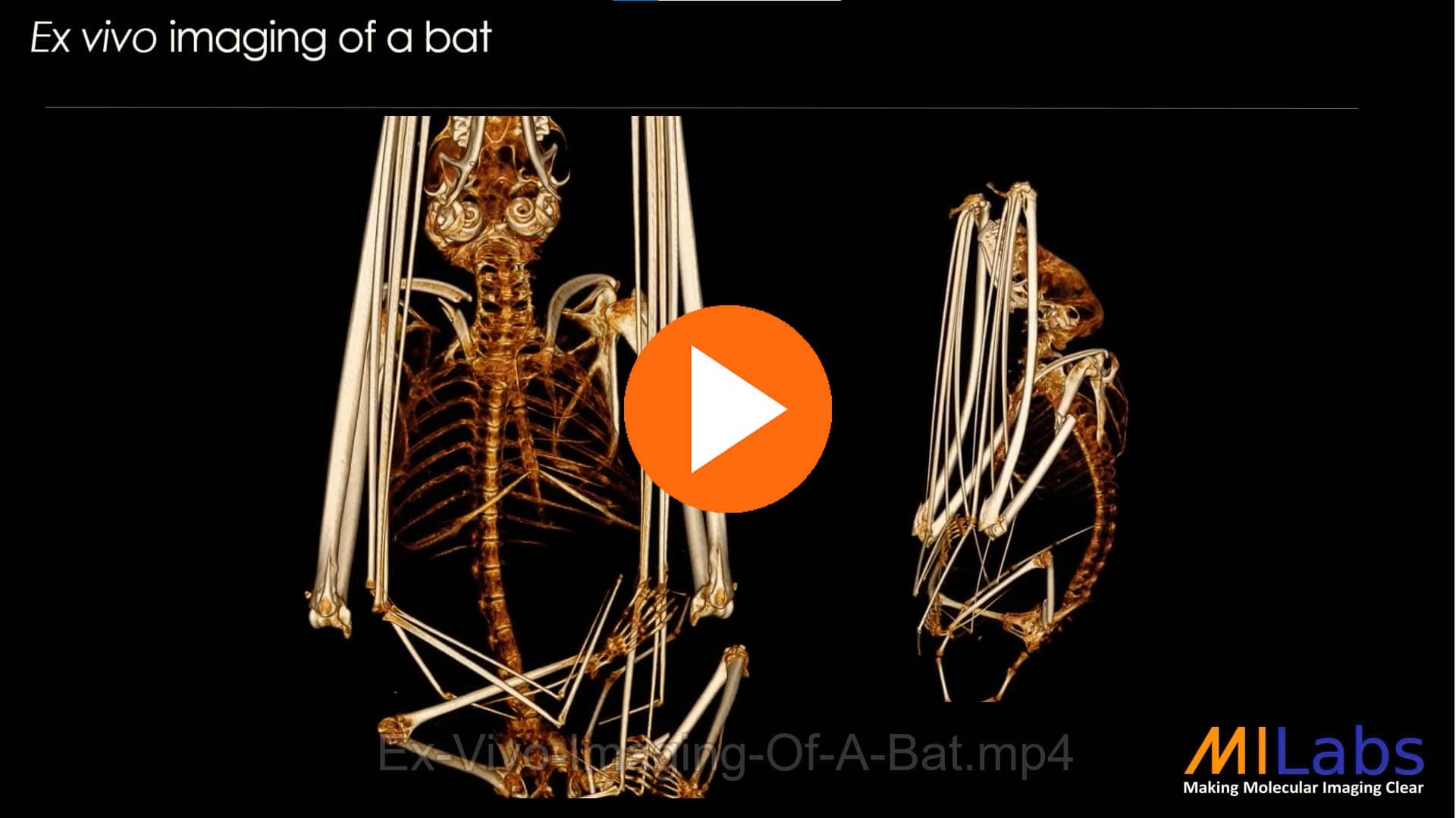 exvivo imaging of a bat with microCT for zoology purposes