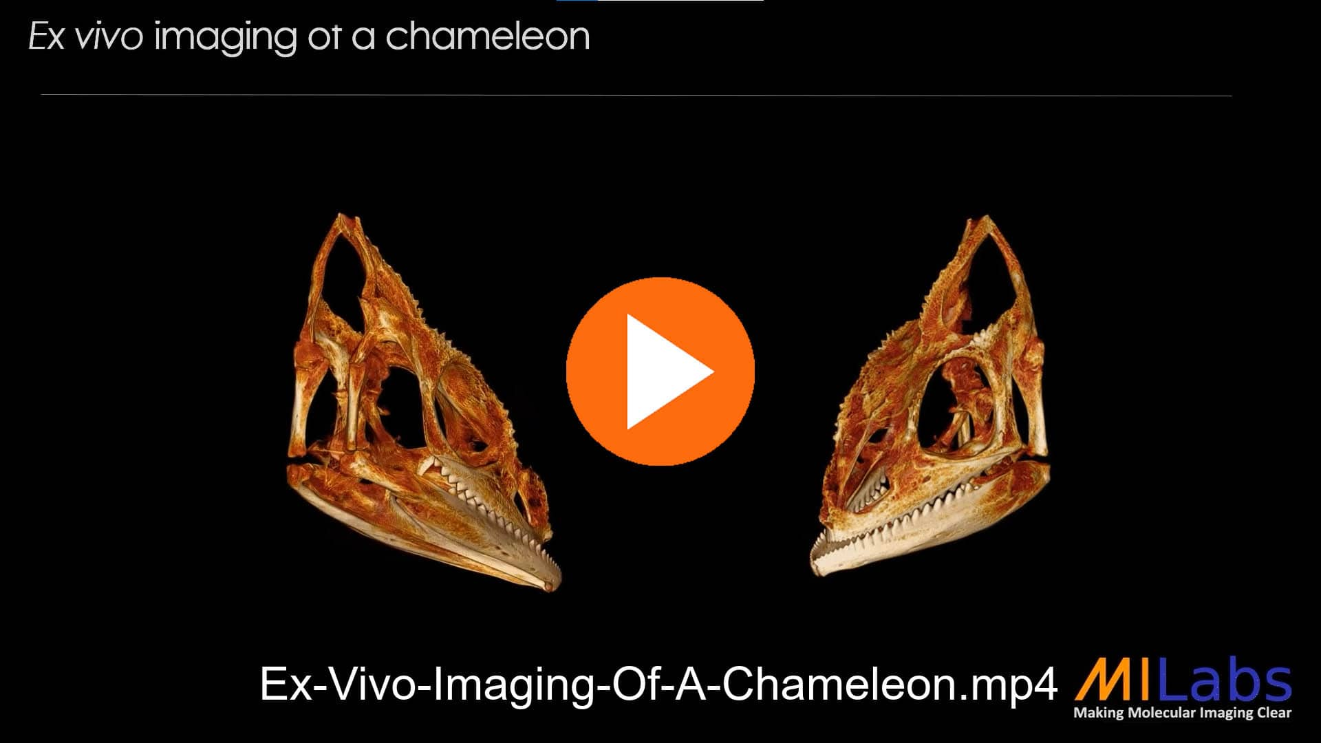 exvivo imaging of a chameleon with microCT for zoology purposes
