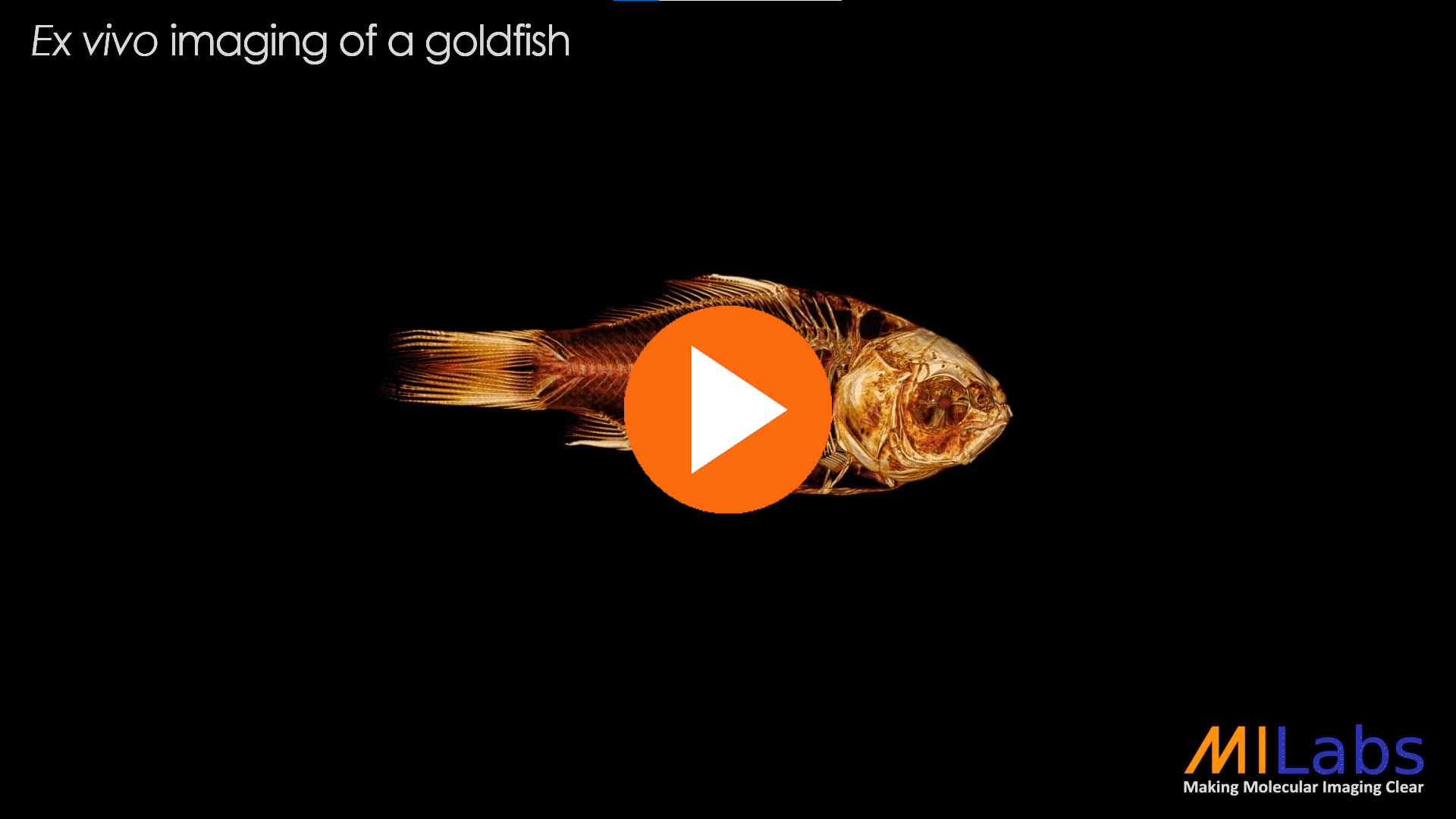 exvivo imaging of a gold fish with microCT for zoology purposes