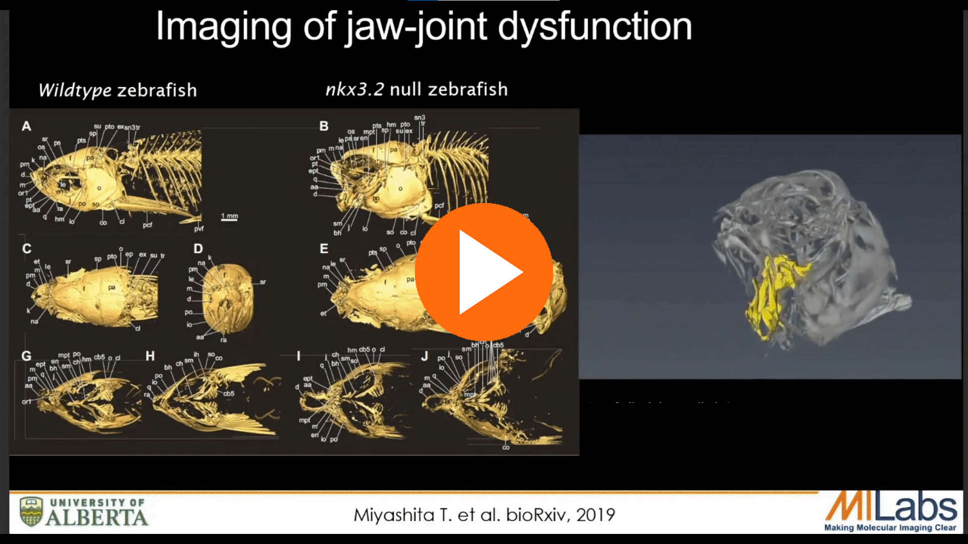 in vivo imaging of jaw joint disfunction mouse
