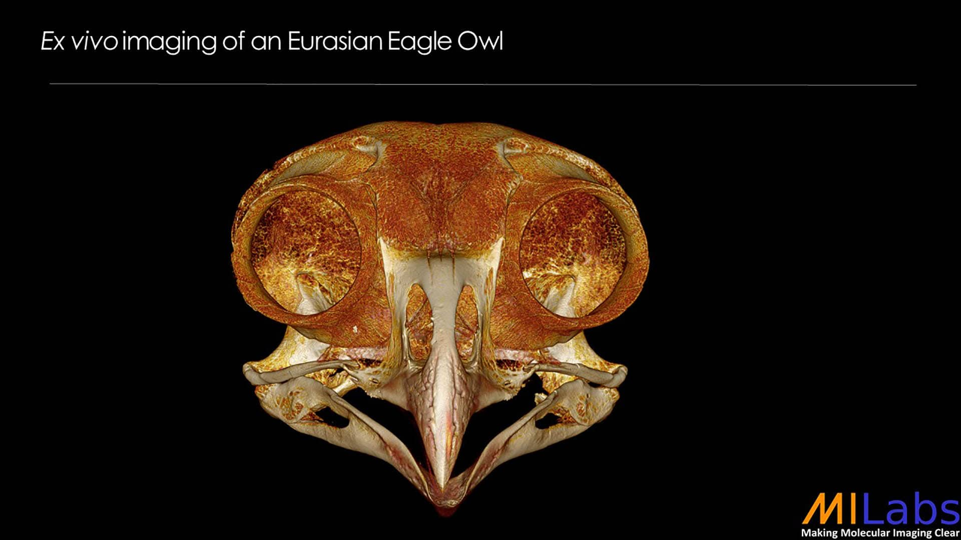 exvivo imaging of an eurasian eagle owl with microCT for zoology purposes