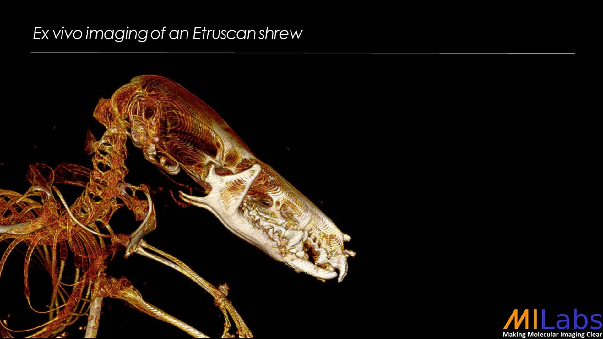 exvivo imaging of an etruscan schrew with microCT for zoology purposes